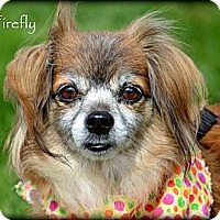 Papillon/Spaniel (Unknown Type) Mix Dog for adoption in Vista, California - Firefly