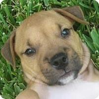 Adopt A Pet :: Louie - Justin, TX