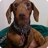 Adopt A Pet :: Gus - MD - Jacobus, PA