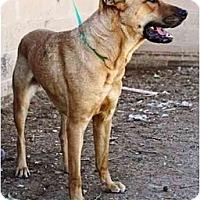 Adopt A Pet :: Lacey - Gilbert, AZ