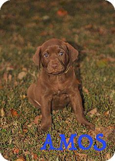 Labrador Retriever Mix Puppy for adoption in Colmar, Pennsylvania - Amos
