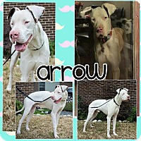 Great Dane Mix Dog for adoption in Lubbock, Texas - Arrow