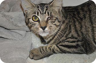 Domestic Shorthair Kitten for adoption in New Smyrna Beach, Florida - One-eyed Peeps