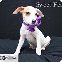 Shepherd (Unknown Type) Mix Puppy for adoption in DeForest, Wisconsin - Sweat Pea