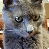 Domestic Shorthair Cat for adoption in Alpharetta, Georgia - Misty