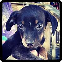 Adopt A Pet :: Mickey - Grand Bay, AL