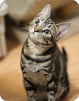 Domestic Shorthair Cat for adoption in Chicago, Illinois - Bella