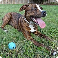 Adopt A Pet :: Brownie - Reisterstown, MD