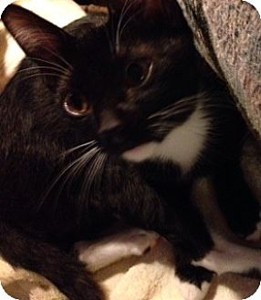 Domestic Shorthair Cat for adoption in Woodland Hills, California - Keeche