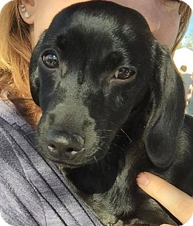 Dachshund/Chihuahua Mix Puppy for adoption in Henderson, Nevada - Doc