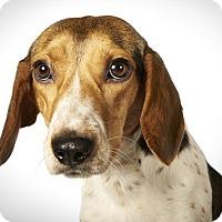 Adopt A Pet :: Angelina - New York, NY