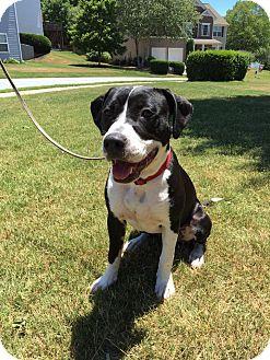 Pit Bull Terrier Mix Dog for adoption in Alpharetta, Georgia - Pepper II