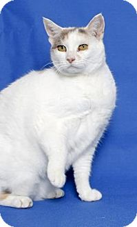 Domestic Shorthair Cat for adoption in Gloucester, Virginia - MARILYN