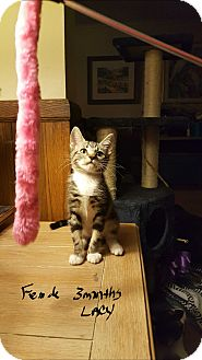 Domestic Shorthair Kitten for adoption in Los Angeles, California - TURTLE