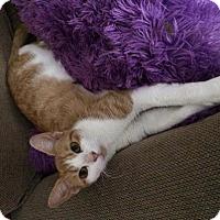 Adopt A Pet :: Socks - Harrisonburg, VA