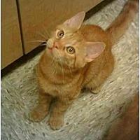 Domestic Shorthair Cat for adoption in Stuarts Draft, Virginia - Clover