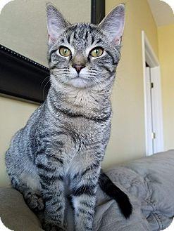 Domestic Shorthair Kitten for adoption in Newport, Kentucky - Alida