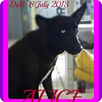 Adopt A Pet :: ALICE - Middletown, CT