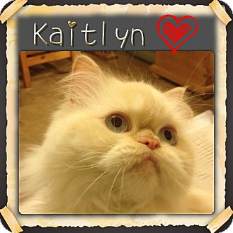 Himalayan Cat for adoption in Beverly Hills, California - Kaitlyn