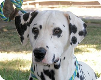 Dalmatian Dog for adoption in Turlock, California - Scooter