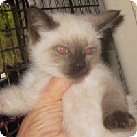 Adopt A Pet :: Latte - Dallas, TX