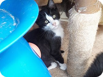 Domestic Shorthair Kitten for adoption in Benton, Pennsylvania - Joey