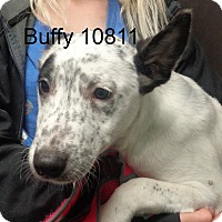 Adopt A Pet :: Buffy - Greencastle, NC