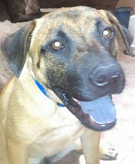 Black Mouth Cur/German Shepherd Dog Mix Dog for adoption in Peoria, Arizona - Cooper