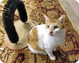 Domestic Shorthair Cat for adoption in Bartlett, Tennessee - Rebel