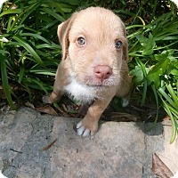 Adopt A Pet :: Peanut - Humble, TX