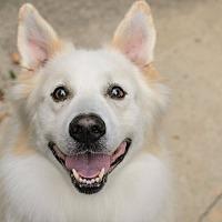 Samoyed Mix Dog for adoption in Lancaster, Pennsylvania - Iggy