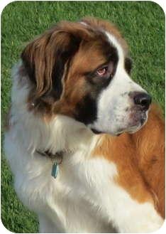 St. Bernard Dog for adoption in Glendale, Arizona - Heidi