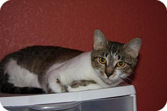 American Shorthair Cat for adoption in Gilbert, Arizona - Cali