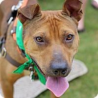 Adopt A Pet :: Caleb - Alpharetta, GA