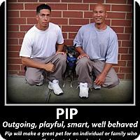 Adopt A Pet :: Pip - Indian Trail, NC