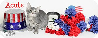Domestic Shorthair Kitten for adoption in Covington, Louisiana - Acute