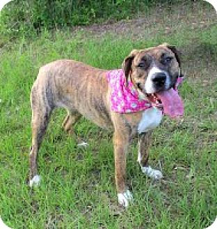 Boxer/Labrador Retriever Mix Dog for adoption in Darlington, South Carolina - Sissy