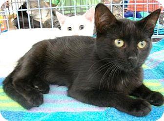 Domestic Shorthair Cat for adoption in Castro Valley, California - Nico