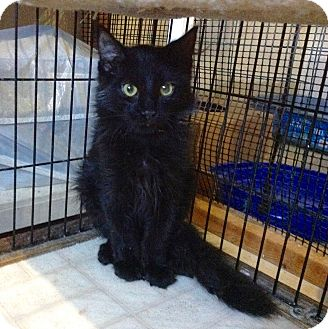 Domestic Mediumhair Kitten for adoption in Colmar, Pennsylvania - Lipton