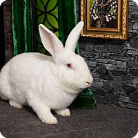 Florida White Mix for adoption in Chicago, Illinois - Brigitta Von Trapp