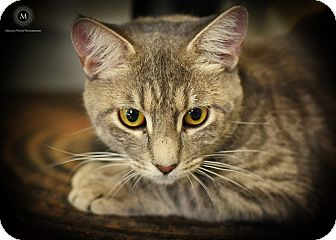 Domestic Shorthair Cat for adoption in St. Louis, Missouri - Jean Grey