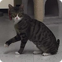 Domestic Shorthair Cat for adoption in Valley Park, Missouri - Cricket