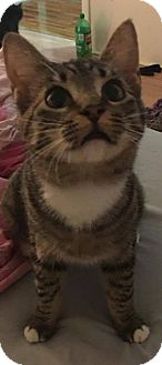 Domestic Shorthair Kitten for adoption in Davison, Michigan - Meredith
