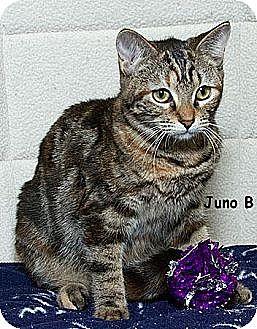 Domestic Mediumhair Cat for adoption in Sacramento, California - Juno B