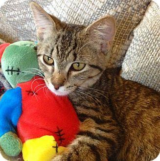 Domestic Shorthair Kitten for adoption in Green Bay, Wisconsin - Kix