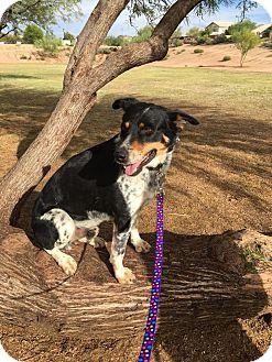 Australian Cattle Dog Mix Dog for adoption in Phoenix, Arizona - Gage
