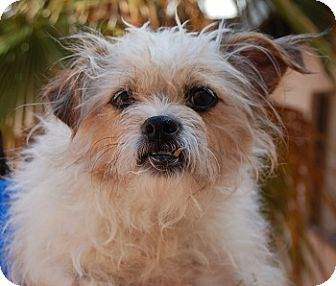 Terrier (Unknown Type, Small) Mix Dog for adoption in Las Vegas, Nevada - Treasure