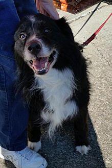 Border Collie/Sheltie, Shetland Sheepdog Mix Dog for adoption in COLUMBUS, Ohio - Gatsby