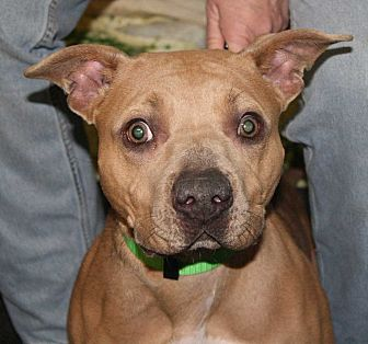 American Bulldog Dog for adoption in Fort Madison, Iowa - Lois Lane