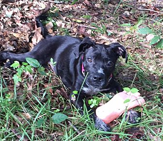 Boxer/American Pit Bull Terrier Mix Dog for adoption in Vidor, Texas - Exodus
